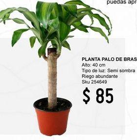 Oferta de Planta palo de Brasil por $85