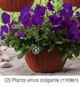 Oferta de Plantas con flor Vinca Colgante por