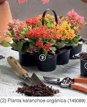 Oferta de Plantas Kalanchoe organica por